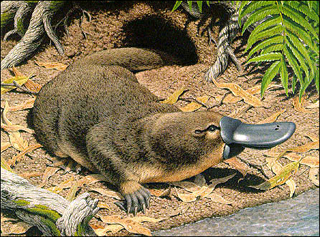 Duckbilled Platypus